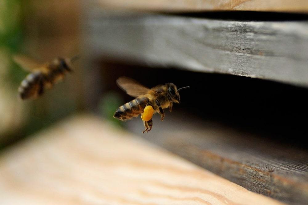 Biene fliegt